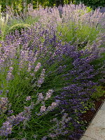 Large lavender bushes (lavender) in the bed