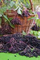Freshly harvested elderberries (Sambucus nigra), basket