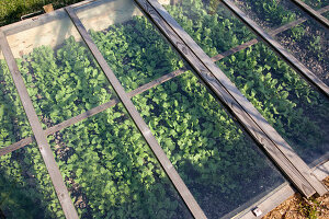 Young plants in cold frame