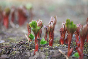 Expelling peonies (Paeonia)