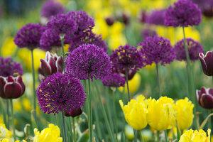 Allium 'Purple Sensation', with Tulipa