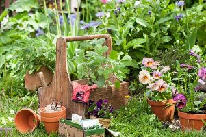 Violas, terracott pots and gardening gloves in wooden garden caddy in front of flowerbed