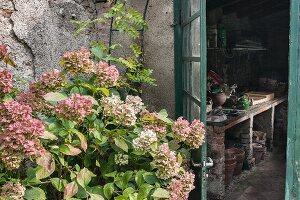 Hortensien vor der Tür zum Gartenhaus mit Pflanztisch