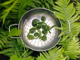 Fiddlehead greens in metal colander sitting amongst fern leaves (fern sprouts, Canada)