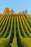 Colourful autumn vineyards (Volkach, Franconia, Bavaria, Germany)