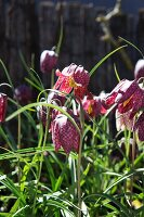 Flowering snake's head fritillaries in sunny flowerbed