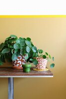 Potted Chinese money plants in painted terracotta pots against wall