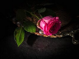 Pink rose on silver tray against black background