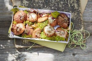 Card gift boxes, flower bulbs and moss