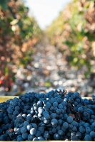 Harvested Cornalin red-wine grapes between rows of vines
