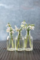 Snowdrops in three vases