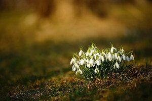 Flowering snowdrops (Galanthus nivalis)