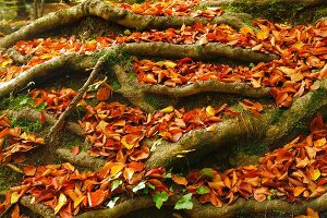Herbstlaub zwischen Buchenwurzeln