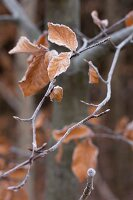 Beech leaves covered in hoar frost on branch in woodland