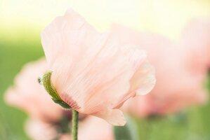 Zarte, rosa Mohnblumen