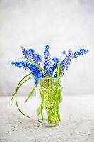 Blue grape hyacinths in drinking glass