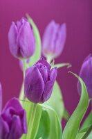 Purple tulips against purple background