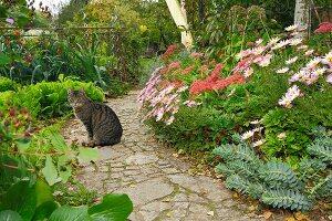 Katze sitzt auf Gartenweg neben Gartenbeet mit Mittagsblumen, Fetthenne und Wolfsmilch