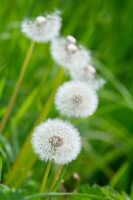 Dandelion clocks amongst green grass