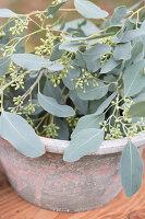 Eucalyptus populus with berries