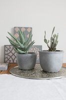 Succulent and cactus in cache pots painted with concrete paint