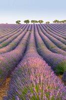 Lavender rows, Plateau de Valensole, Alpes-de-Haute-Provence, Provence-Alpes-Cote d Azur, France, Europe