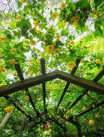 Gelbe Schönmalve (Abutilon) über Pergola (Ausschnitt)