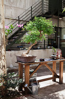 Large bonsai tree on potting table in sunny courtyard