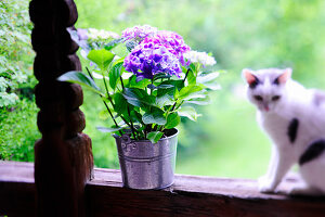 Potted hydrangea and cat on wooden balustrade