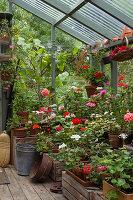 Pelargonien in allen Farben auf Holzkisten im Gewächshaus