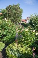 Flowering roses in garden