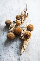 Früchte der Platane (Platanus acerifolia) und Treibholz