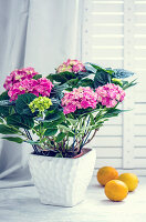 Flowering potted hydrangea next to lemons on white surface