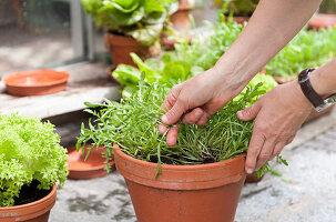 Verschiedene Salatsorten in Terracottatöpfen werden geerntet