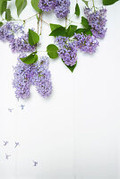 Purple lilac on white background