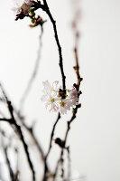 Zweig der Schneekirsche mit weißen Blüten