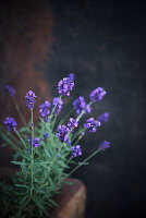 Flowering lavender