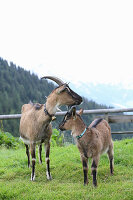 Two goats on mountain pasture