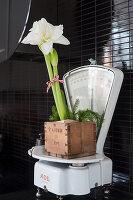 White amaryllis in wooden box on white kitchen scales