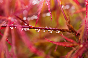 Water droplets on maple branch