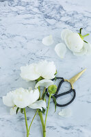 White peonies and garden scissors on marble surface