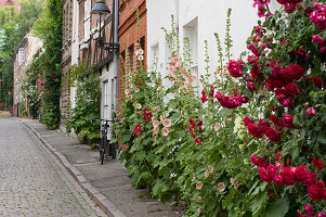 Lushly flowering hollyhocks against façades in old-town street