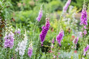 Blühender Fingerhut (Digitalis purpurea) im Garten