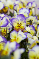 Purple-Yellow Flowering Horned Violet 'penny Primrose Picotee'