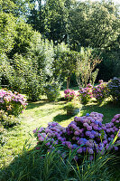 Flowering hydrangeas in garden