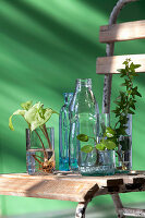 Ivy, Chinese money plant and arrowhead plant cuttings in glass containers