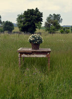 Basket of ox-eye daisies on old wooden table in meadow