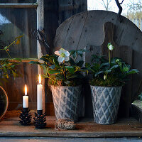 Hellebores in zinc pots and metal candlesticks shaped like pine cones on wooden board