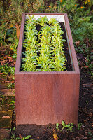 Cut-and-come-again lettuce in planter