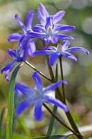 Close-up of squill